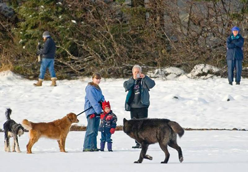 wolf-meets-dog-2-47549-1-17877