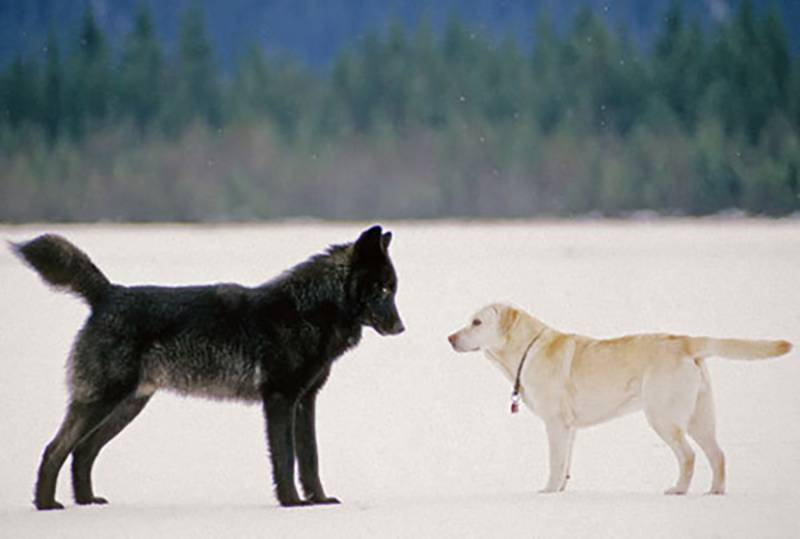 wolf-meets-dog-5-60365-1-75681