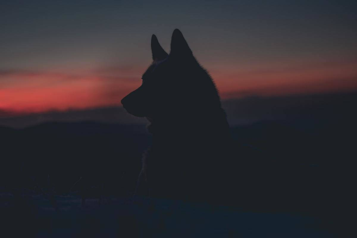 The silhouette of a wolf is seen against a sunset.