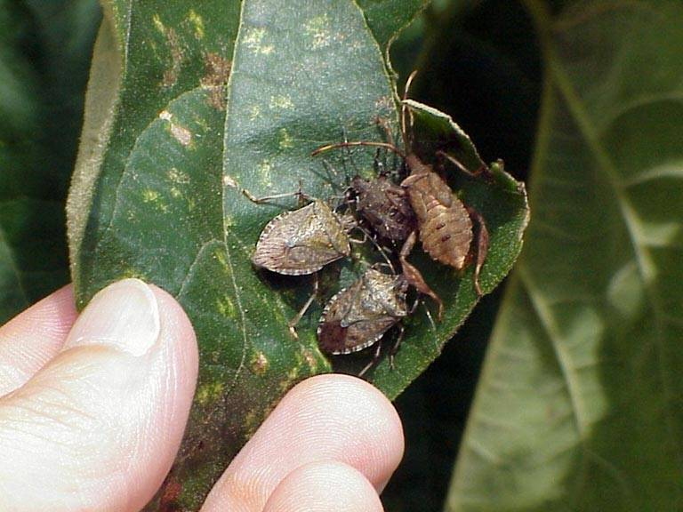 Brown_marmorated_stink_bug_adults