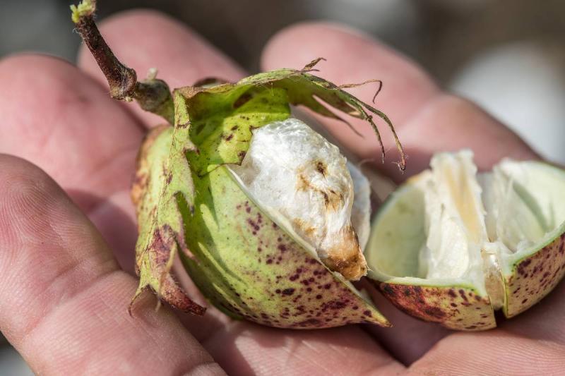 Cotton bud showing signs of stinkbug infestation, Tifton, Georgia.