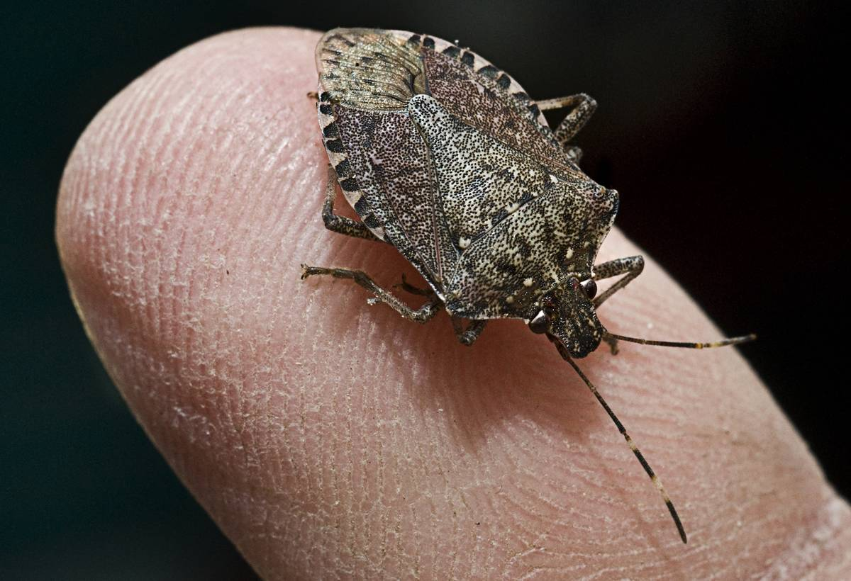 Doug Inkley has collected thousands of stinkbugs in and around his home