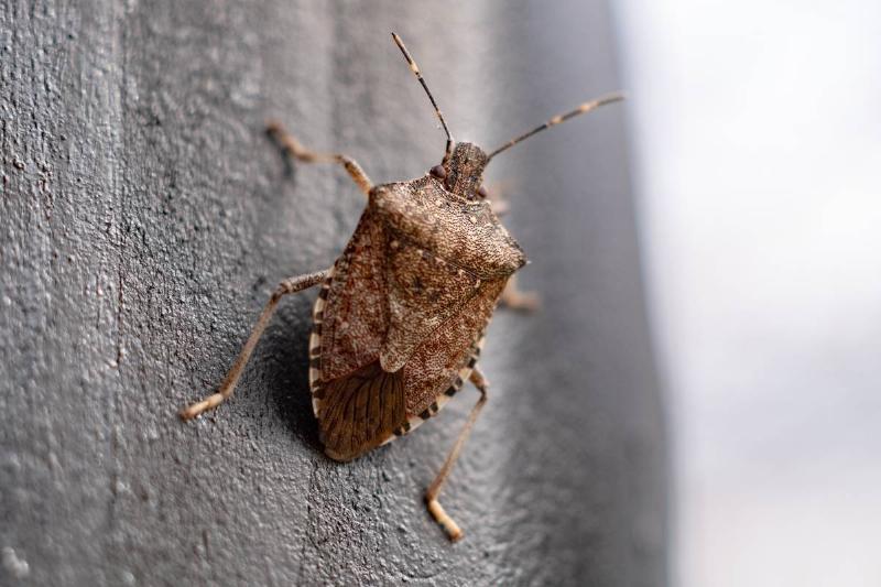 Stink Bug In Germany