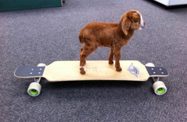 baby_goat_on_skateboard.jpg