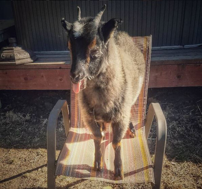 goat-stole-your-seat.jpg