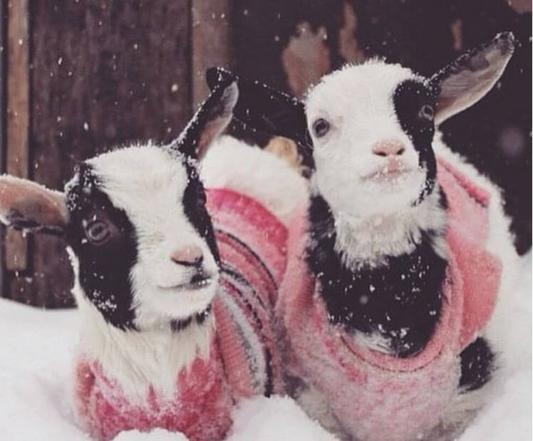goats-in-the-snow.jpg