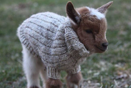 You Goats To Be Kidding: These Goats Are Ridiculously Adorable 38