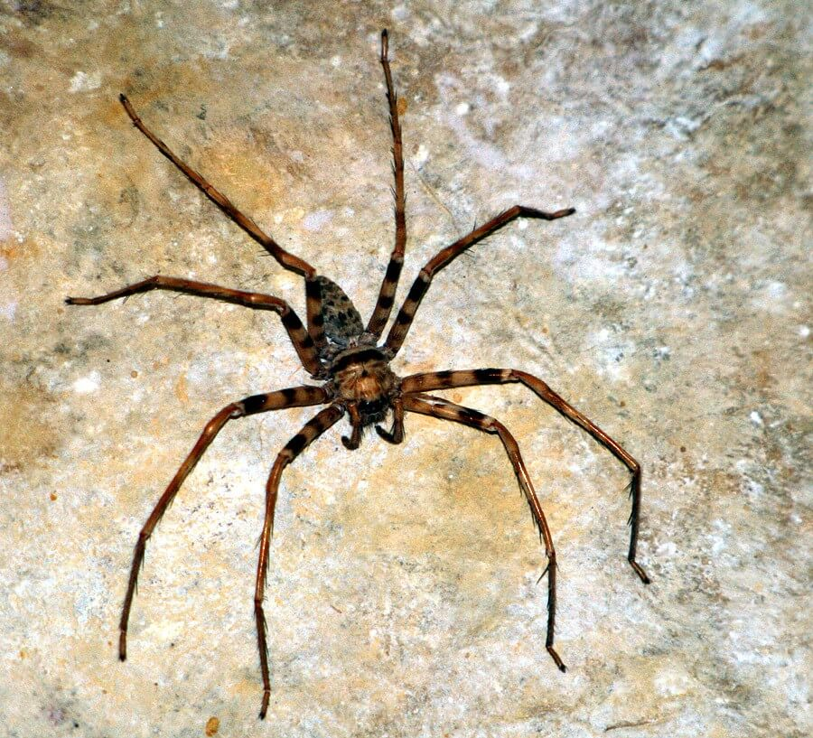 huntsman spider.jpg