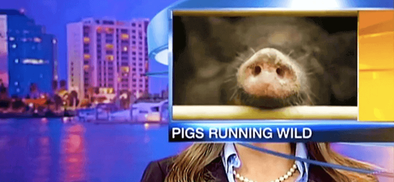 Unfortunate-Pig-Placement-for-News-Cast-and-Anchor-49878.png