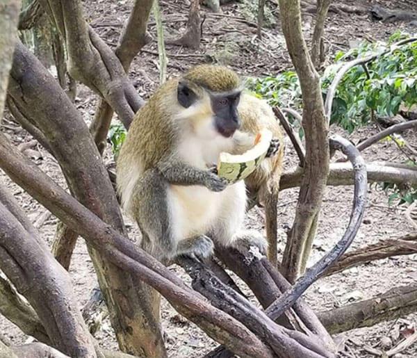 01 barbados monkey.jpg