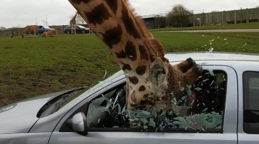 giraffe in window.jpg