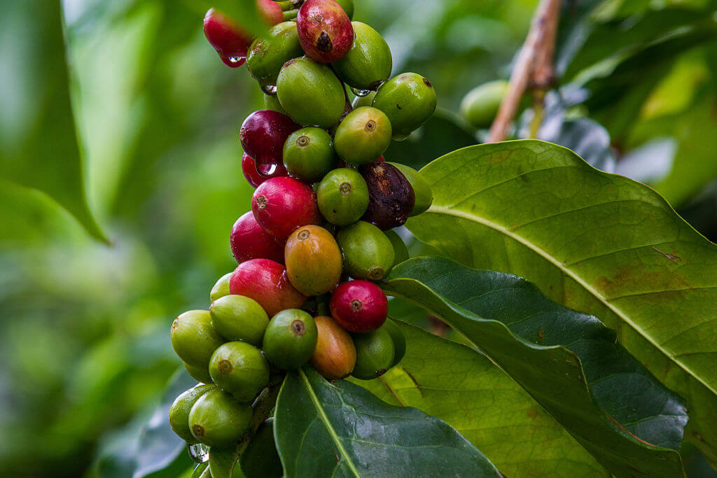 Coffee Beans Are Ready To Pick When They're Bright Red